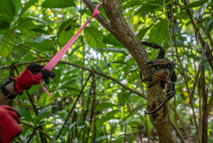 A reseacher tags a tree on Nikumaroro Island while a resident coconut crab perches nearby.