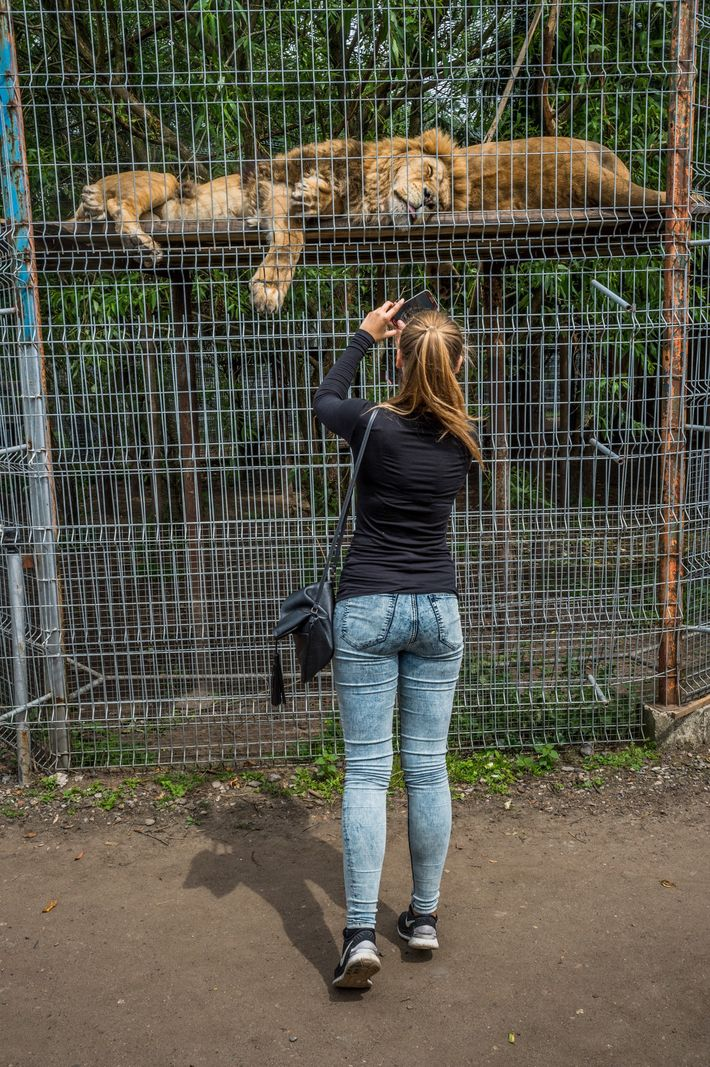 As lions sleep in their enclosure at a Lithuania zoo, a woman snaps a photo. Television ...
