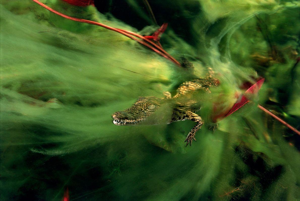 A baby nile crocodile hides in algae in the Ncamasere channel running through the Okavango Delta.