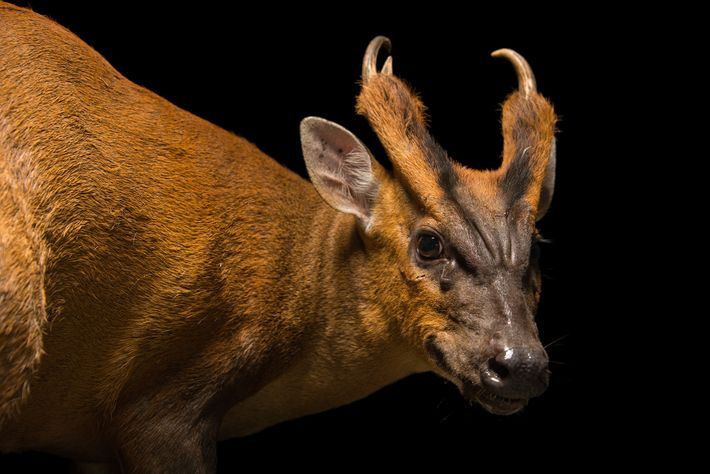 Muntjacs have both antlers and tusks, which they use to grapple with and slash at other ...