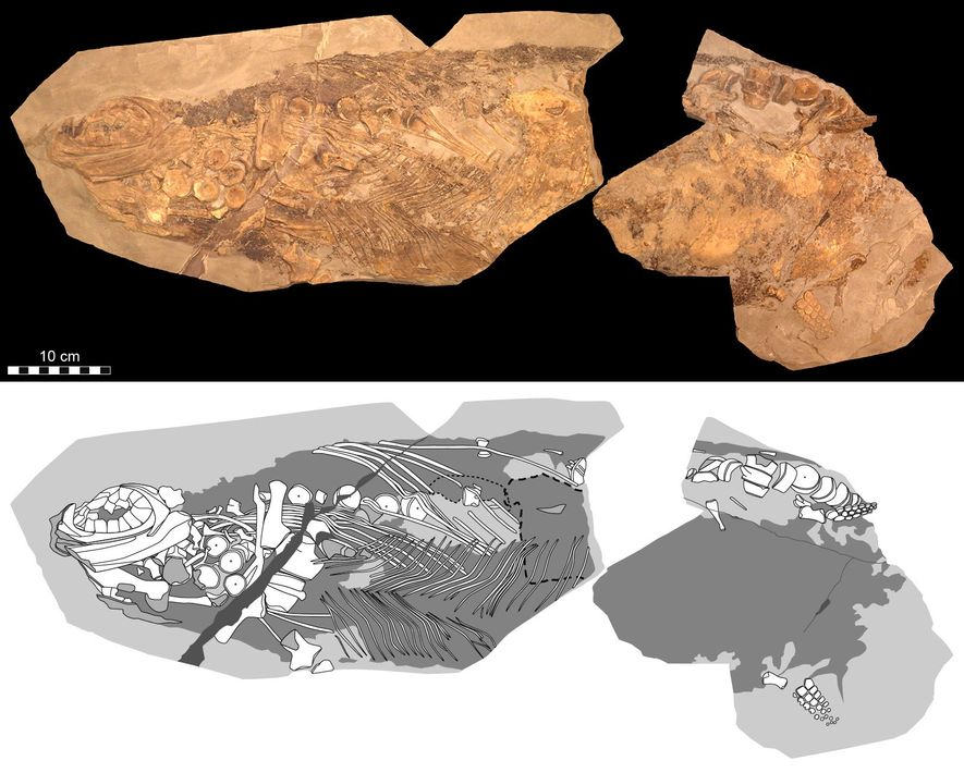 Photographic (top) and diagrammatic (bottom) representations show details of the 'Stenopterygius' examined in the new study. ...