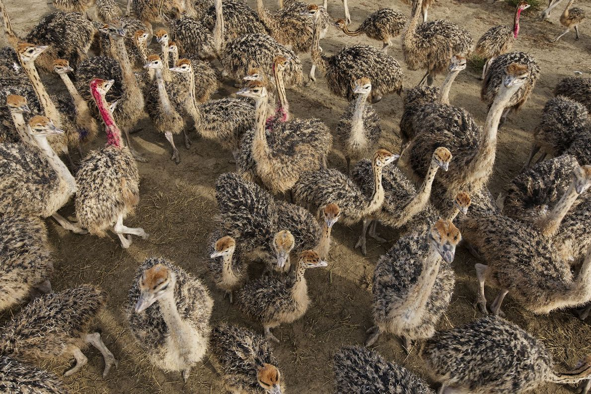 A large herd of ostriches roams a farm in Dnipropetrovsk province, Ukraine.