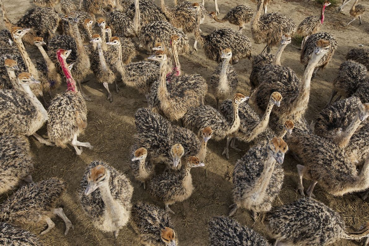 A large herd of ostriches roams a farm in Dnipropetrovsk province, Ukraine.  ...