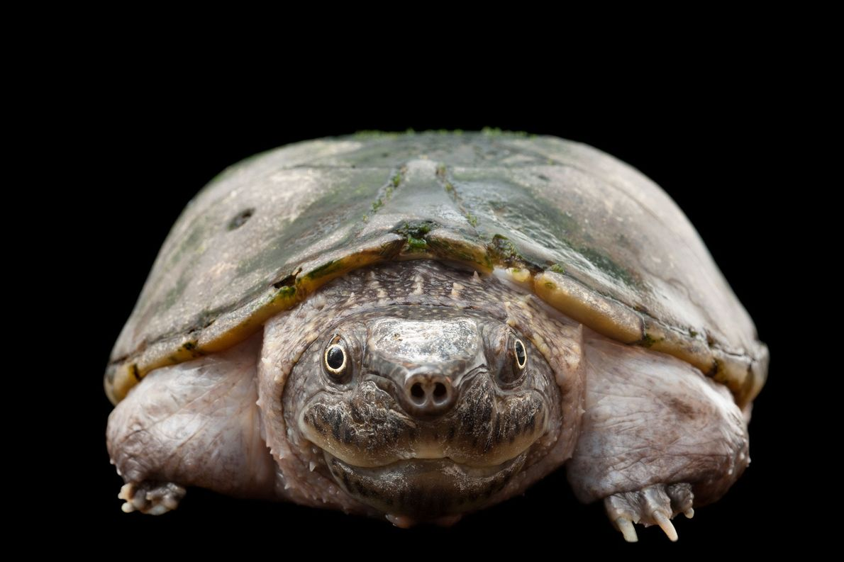 A critically endangered flattened musk turtle, Sternotherus depressus.