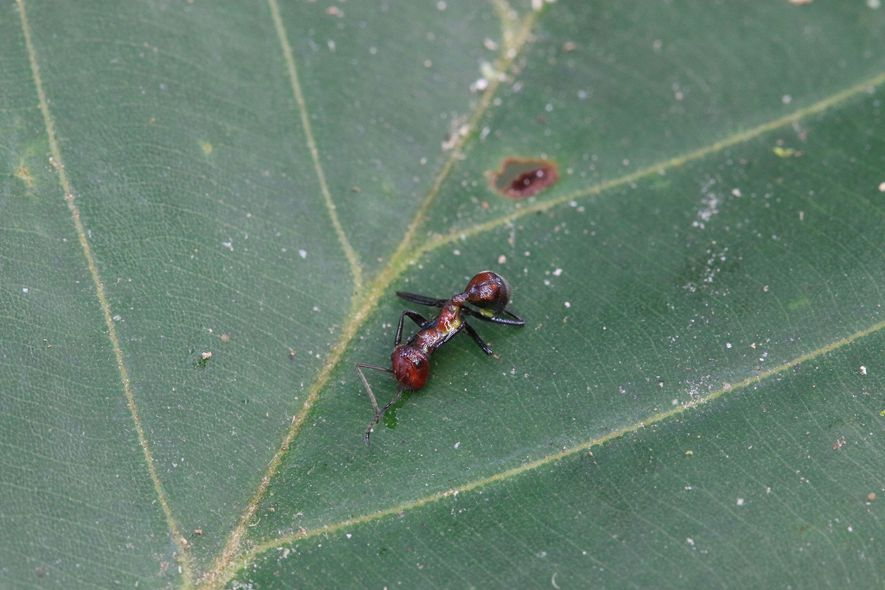 The exploding ant's own goo also kills it—making each explosion a self-sacrifice on behalf of the ...