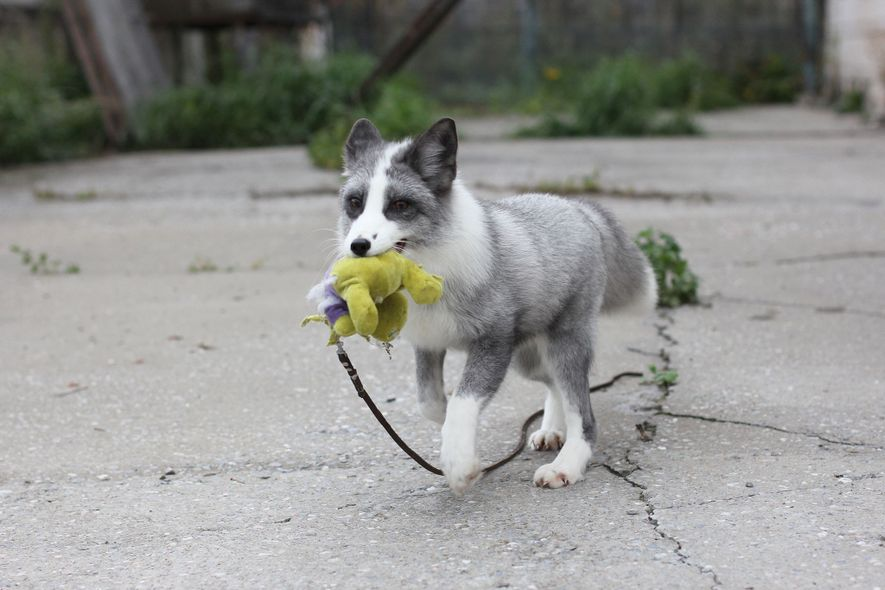 The Russian fox breeding experiment produced docile animals, much as selective breeding over millennia produce domestic ...