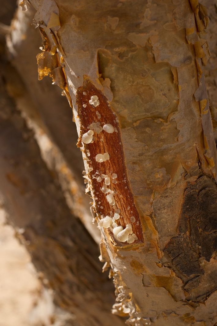 When frankincense trees are cut, the sap that oozes out hardens into valuable resin. Experts worry ...