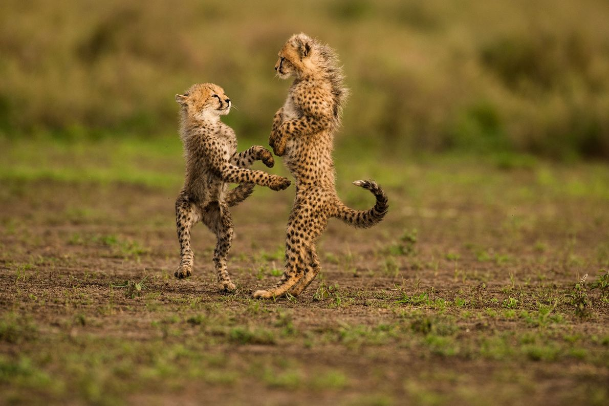 Two cheetah cubs play in Serengeti National Park in Tanzania.