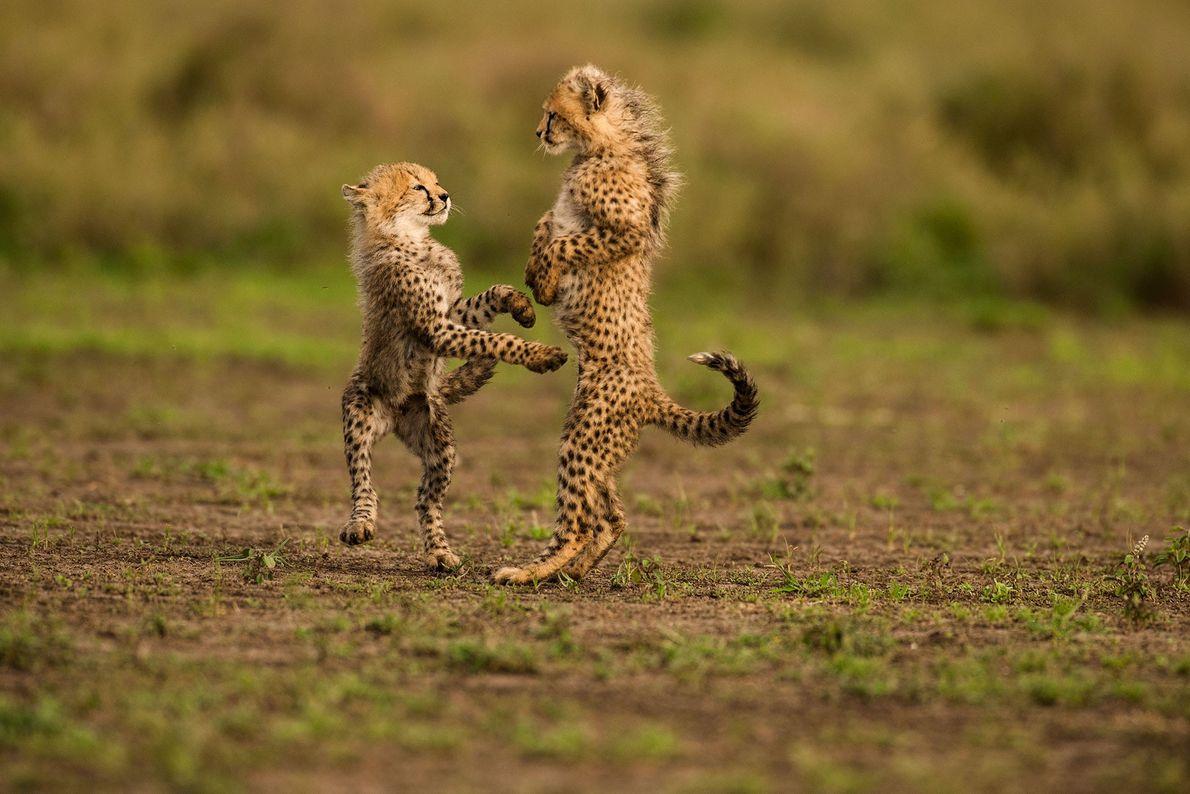 Two cheetah cubs play in Serengeti National Park in Tanzania.