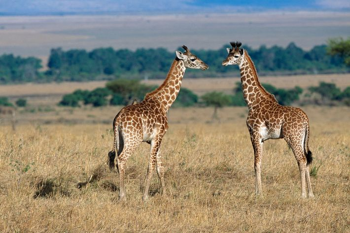 A recent study found that juvenile giraffes with bigger, rounder spots appeared to have higher survival ...