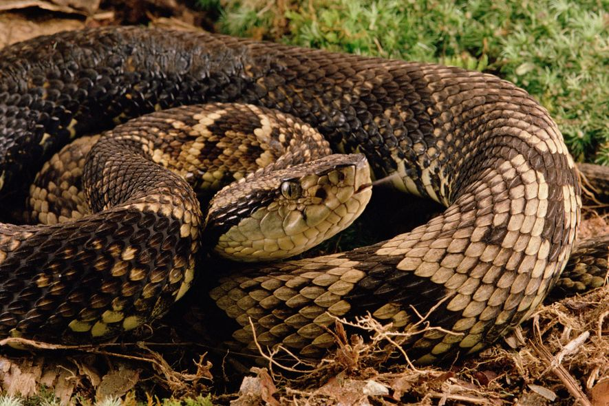 Currently, snakes such as the Fonseca's pit viper, native to Brazil, aren't traded abroad, according to ...