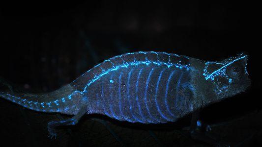 Chameleon Bones Glow in the Dark, Even Through Skin