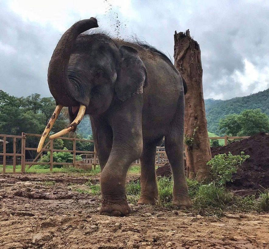 Gluay Hom, free from chains, throws mud on his back in a field at Elephant Nature ...