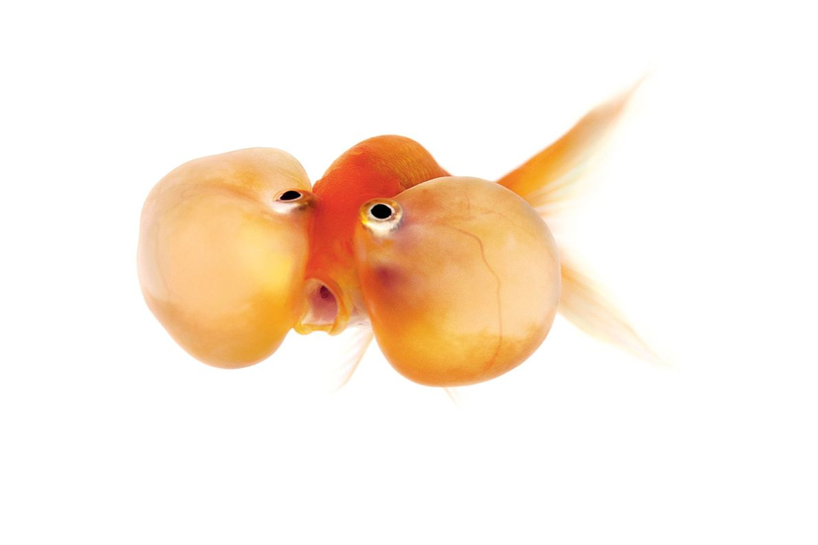 Bubble-eye goldfish are identified by the fluid-filled sacs under their eyes.