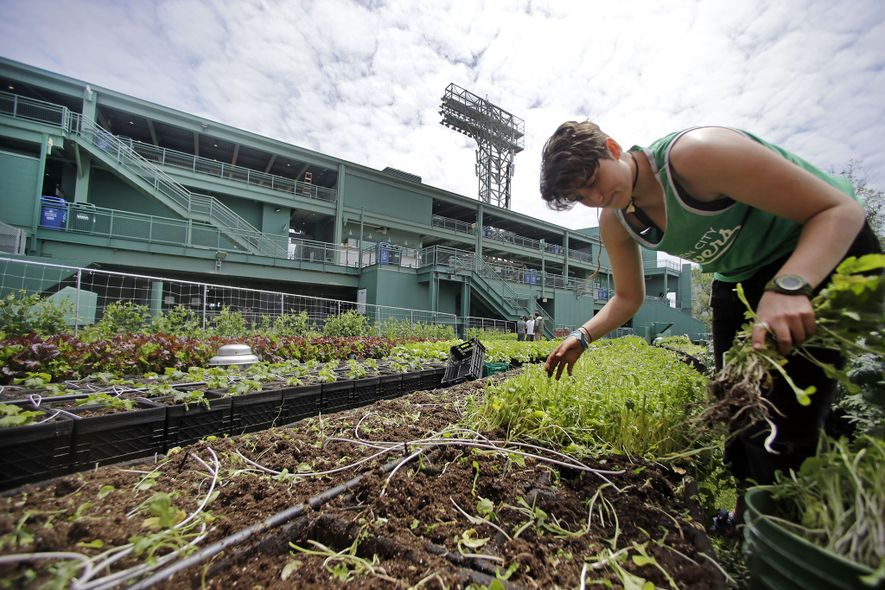 If you build it, they will farm: Boston's Fenway Park features an agriculture project that feeds ...