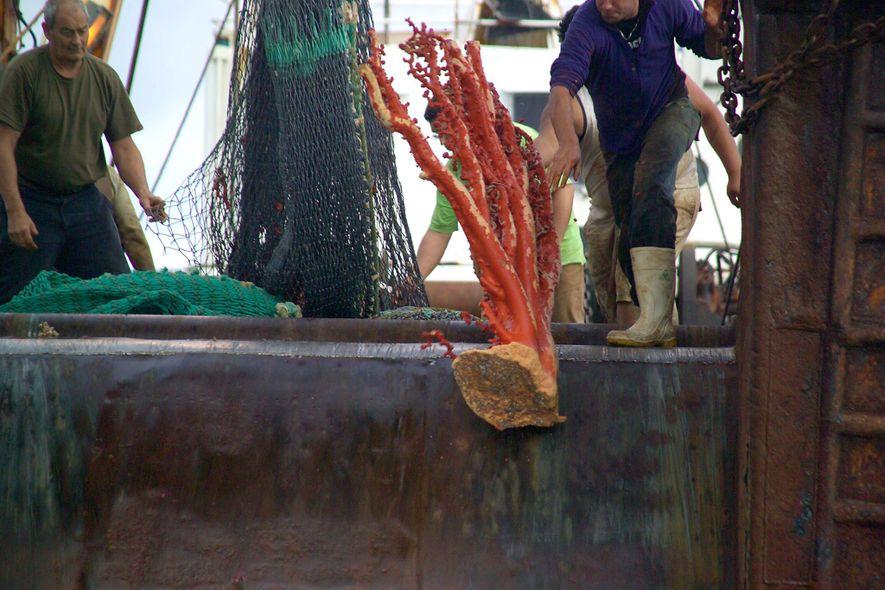 Bottom trawling is one of the most destructive fishing practices. It commonly drags coral from the ...