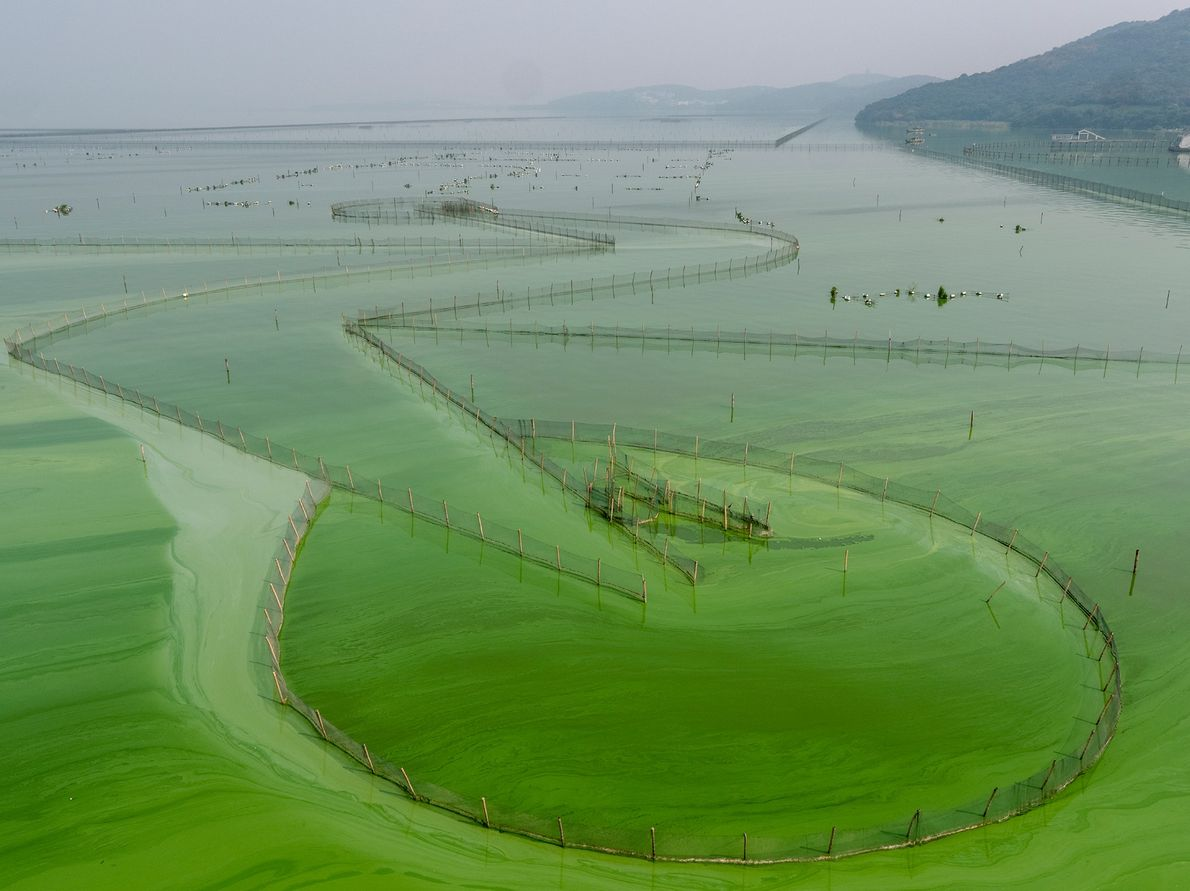 Alga blooms cover the surface of Lake Tai in northeastern China. Thirty years ago, the waters ...