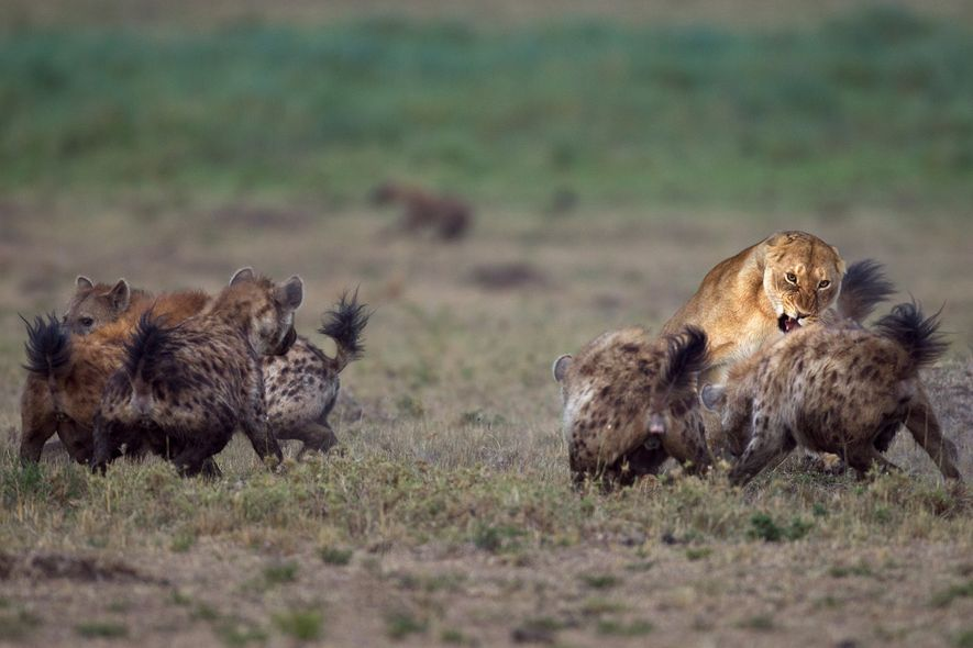Spotted hyenas fight with a lioness in Masai Mara National Reserve in Kenya.