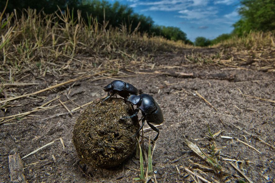 Dung beetles, among the most imperiled insects, play an important role in recycling nutrients and processing ...
