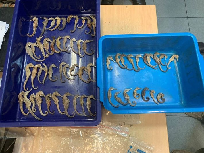 During an x-ray luggage inspection at the airport, customs officials in Singapore detected these dried seahorses, ...