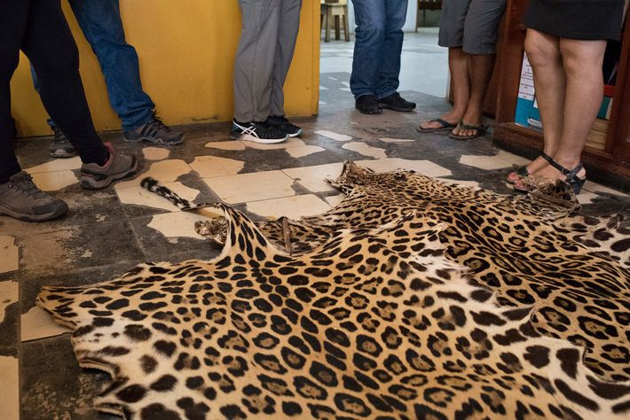 In South America, jaguar skins, such as this one at a market in Iquitos, Peru, and ...