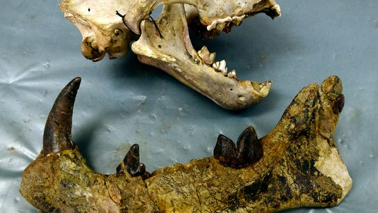 A modern lion skull from Kenya (top) sits next to the left jaw of the 22-million-year-old ...