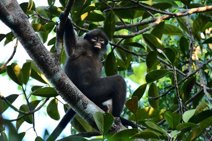 "The Robinson's banded langur (Presbytis robinsoni) is still classified as ""near threatened,"" whereas the two other ..."