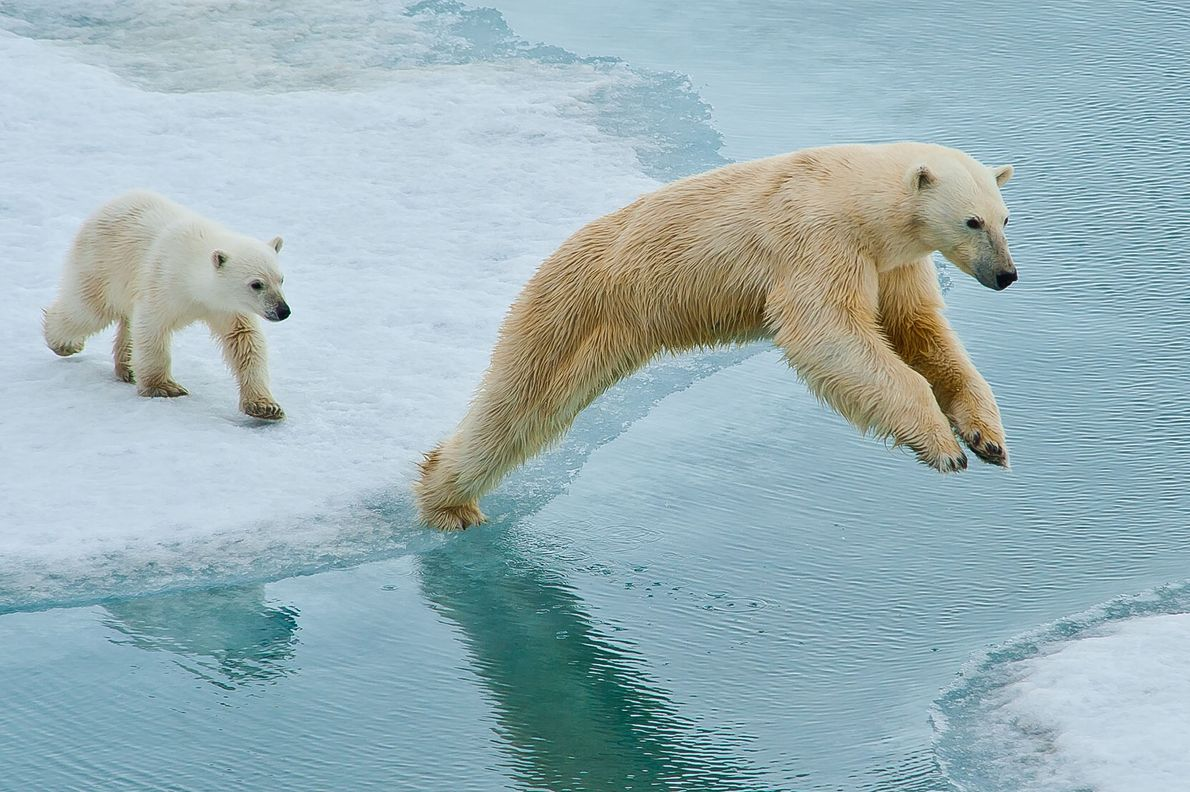 North of Svalbard, this mother and cub knew instinctively when she needed to jump across exposed ...