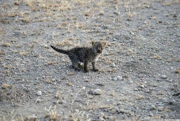 It's unknown what happened to the leopard cub's mother.