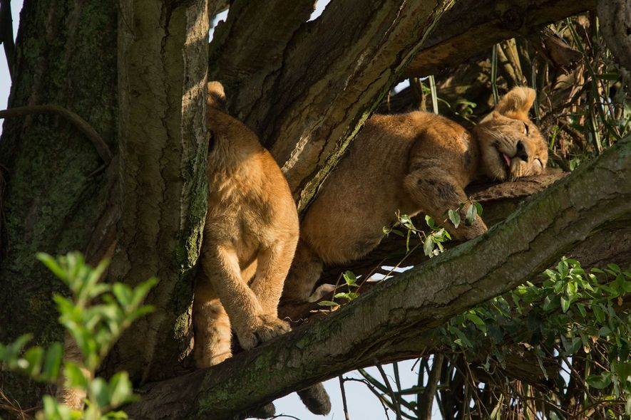 Two of the eight cubs that died lounge in a candelabra tree. The pride was known ...