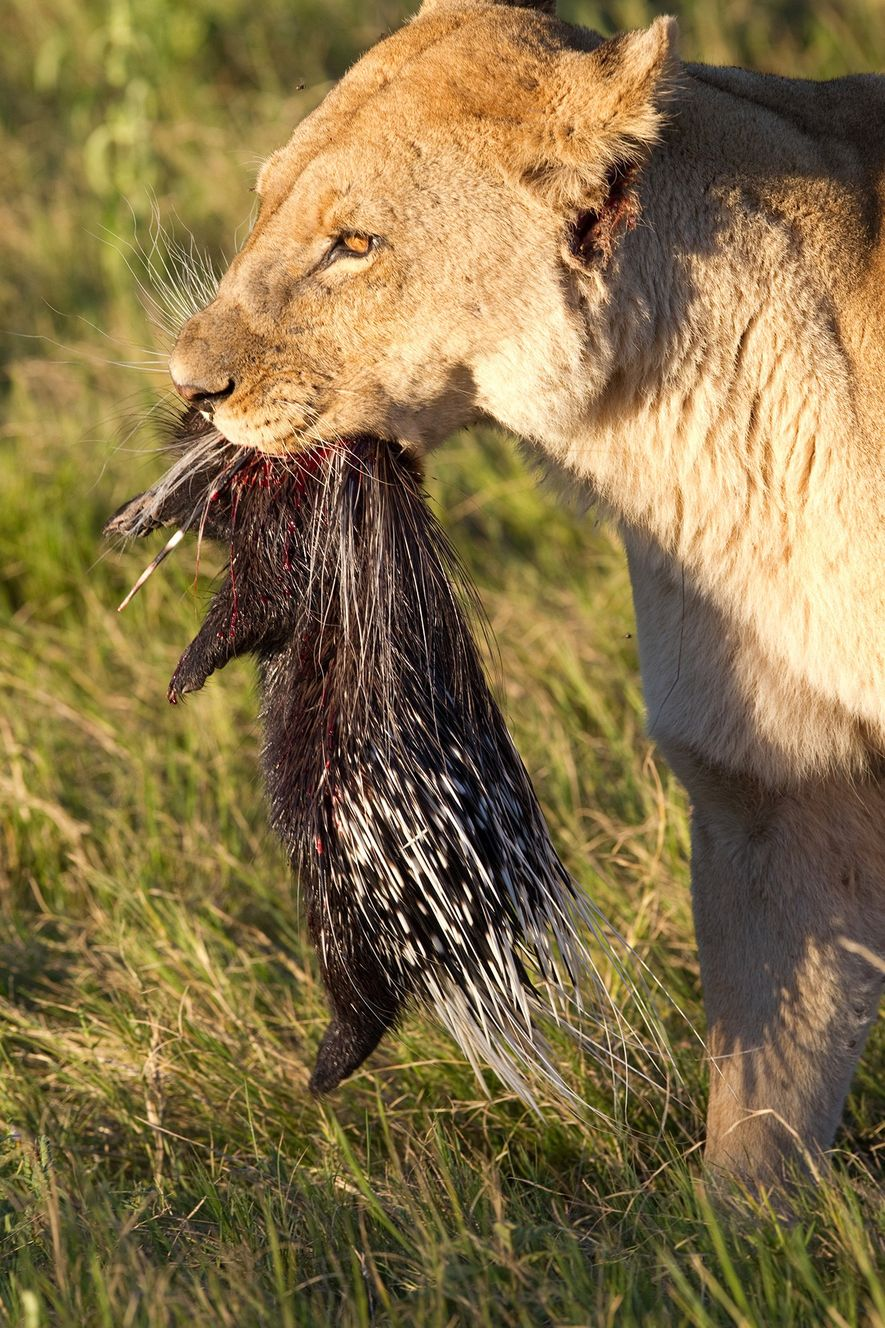 Lions can succeed in hunting and killing porcupines, as is the case in this photo taken ...