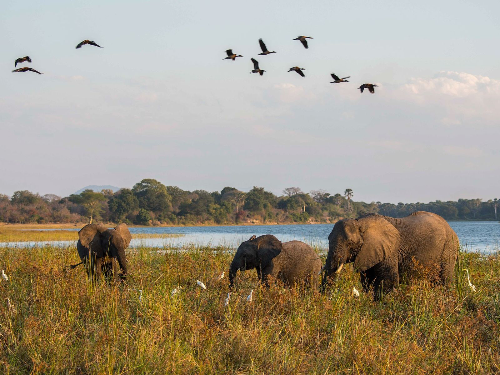 African elephants graze beside the Shire River in Liwonde National Park in Malawi. Prince Harry recently ...