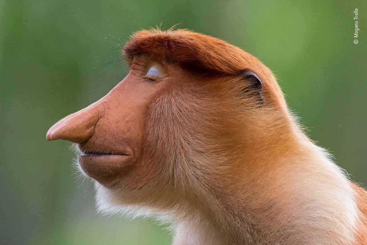 A young male proboscis monkey closes his pale blue eyelids. The photograph, captured by Mogens Trolle ...