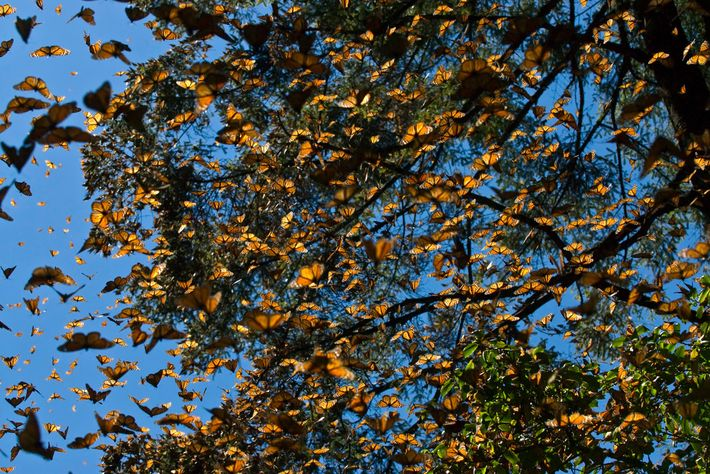 Millions of eastern monarch butterflies migrate some 3,000 miles to spend each winter in the Oyamel ...