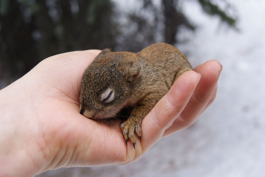 Scientists temporarily removed this squirrel pup from its nest during their research. The pups are tagged ...