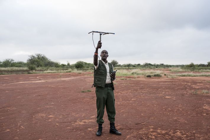 David Daballen, who works with Save the Elephants, tests the signal from an elephant collar in ...
