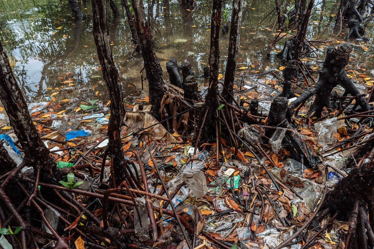 Trash clogs the roots of mangroves around Bohol.  ...