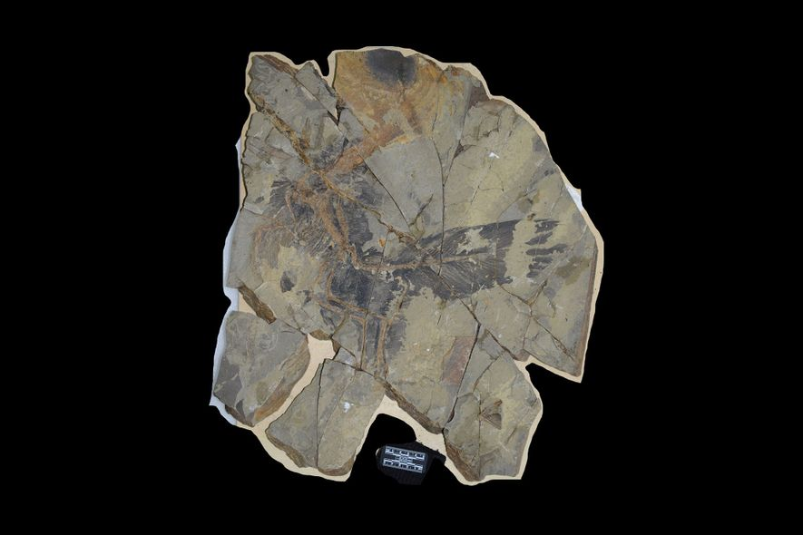 The slab containing Caihong juji. Exceptional conditions allowed the dinosaur's feathers to fossilize along with its bones.