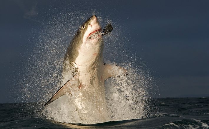 A great white shark catches a decoy seal, set out by researchers. The predators are often ...
