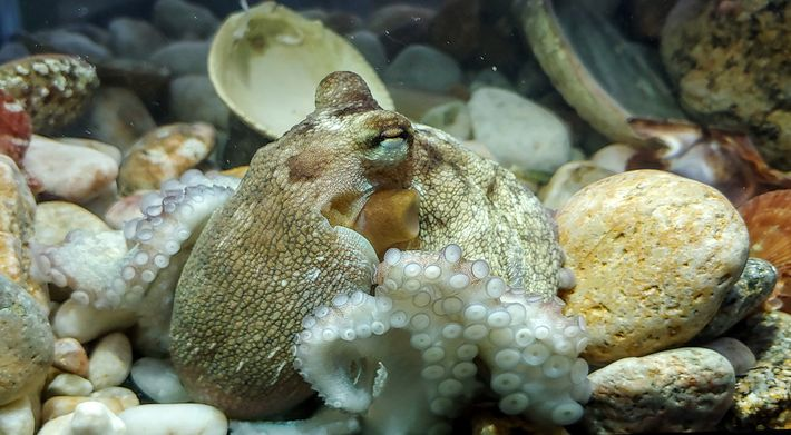 This young Atlantic common octopus was photographed at Pescanova Biomarine Centre, the research and development lab ...