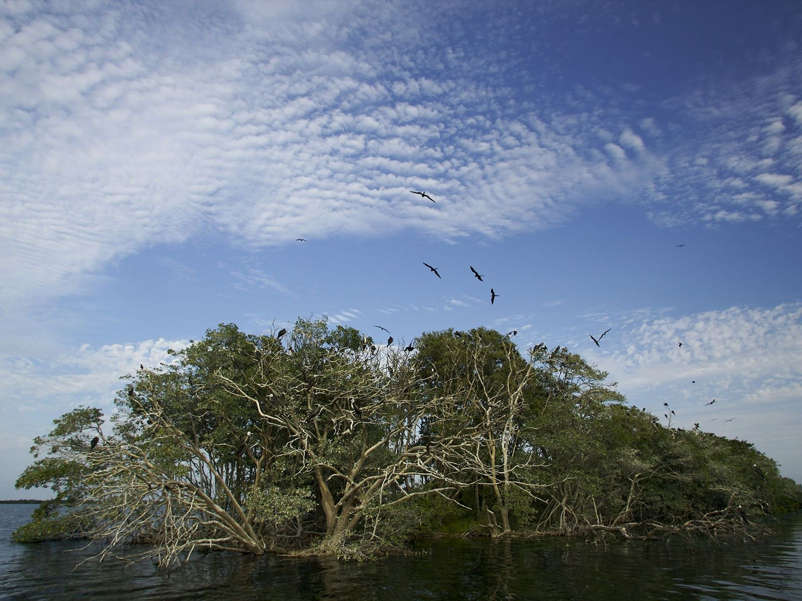 The roots of mangrove trees provide refuge for a dazzling array of marine organisms—and can even ...