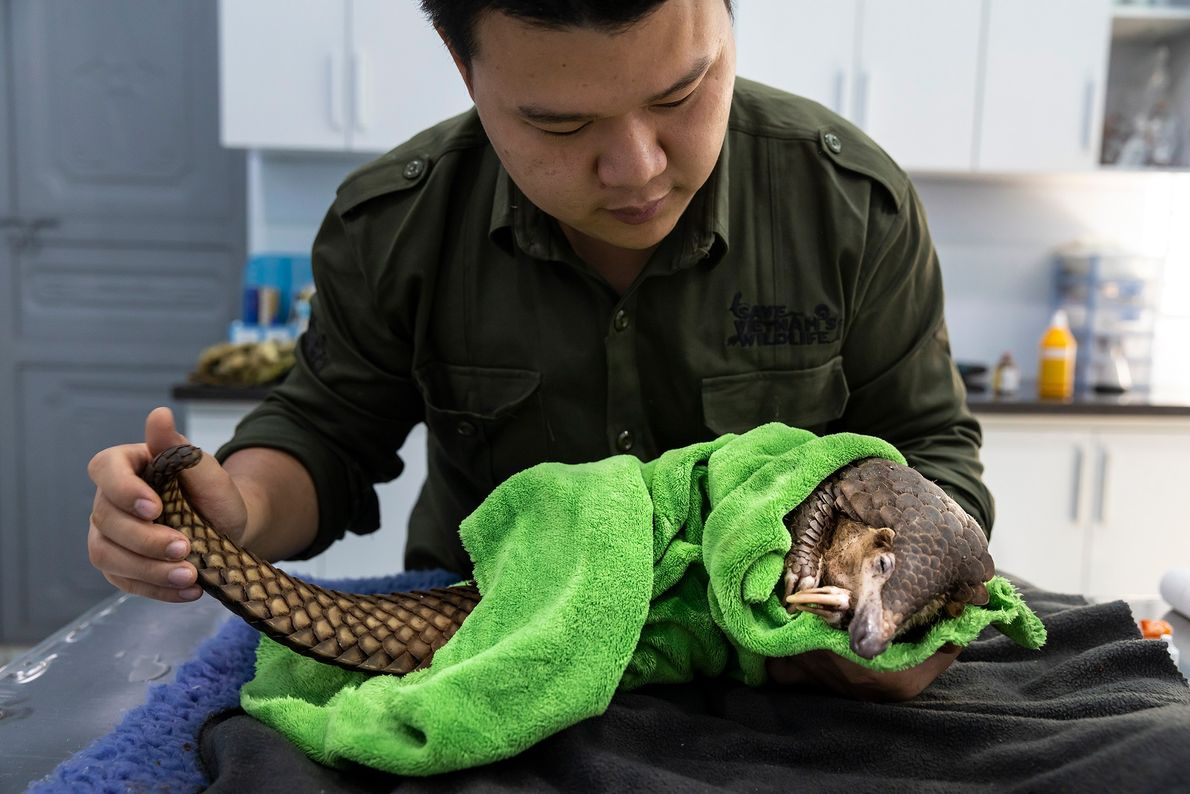 Veterinarian Lam Kim Hai treats a pangolin that was caught in a poacher's snare and taken ...