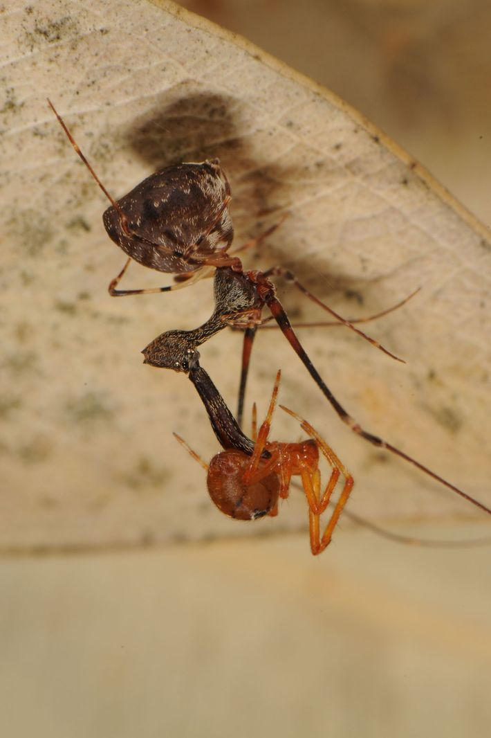 A pelican spider dangles its spider prey upside down in Madagascar.