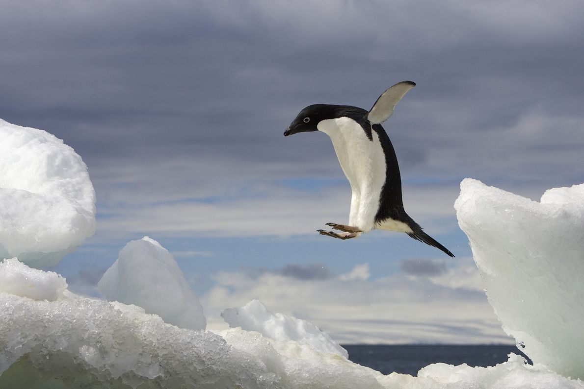 An Adelie penguin jumps on an iceberg in Antarctica.