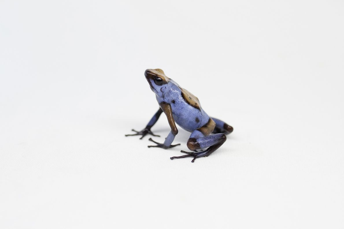 This blue bullseye morph of the harlequin poison frog is named for its colouring and the ...