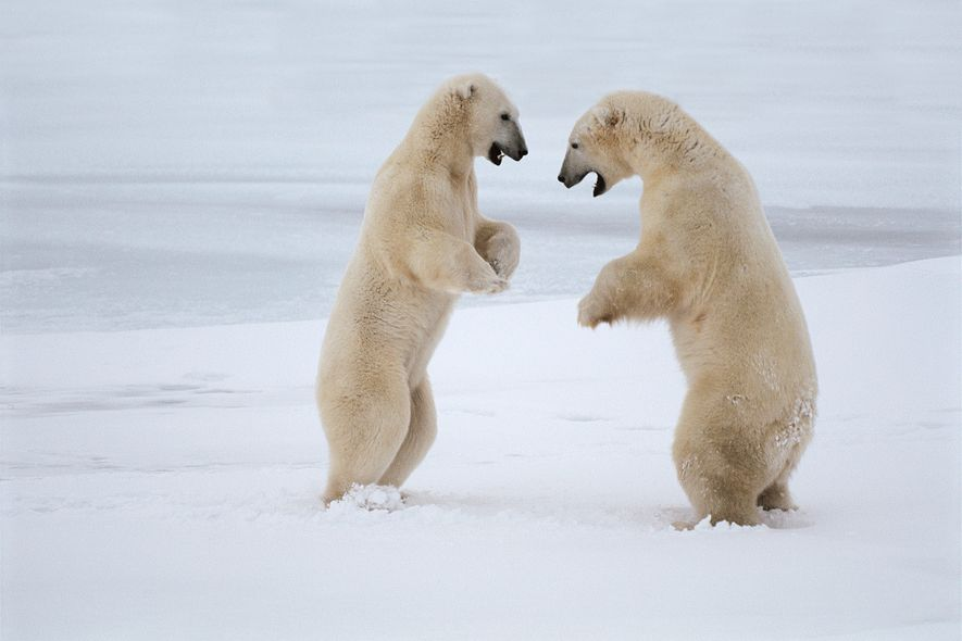 Polar bears spar in Canada's Hudson Bay. The large predators evolved to live and hunt on ...