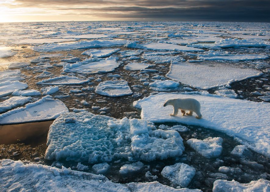 Because polar bears depend on sea ice for hunting, some scientists say global warming is their ...