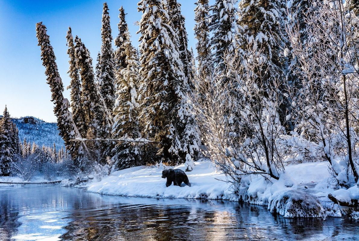 Your Shot photographer Marko Dimitrijevic photographed this full-grown grizzly bear along the Fishing Branch River in ...
