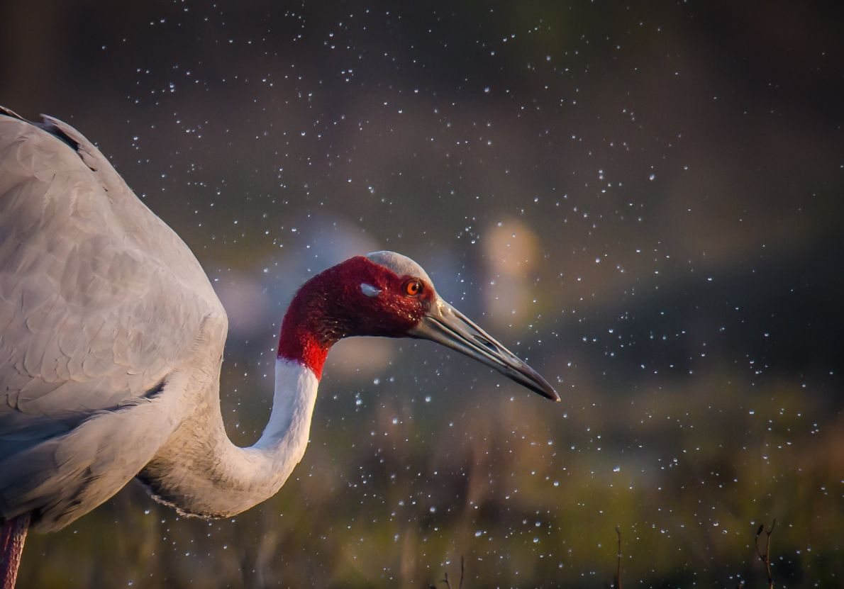 Your Shot photographer Sunil Gowthem documented the moment a Sarus crane shook water from its feathers ...