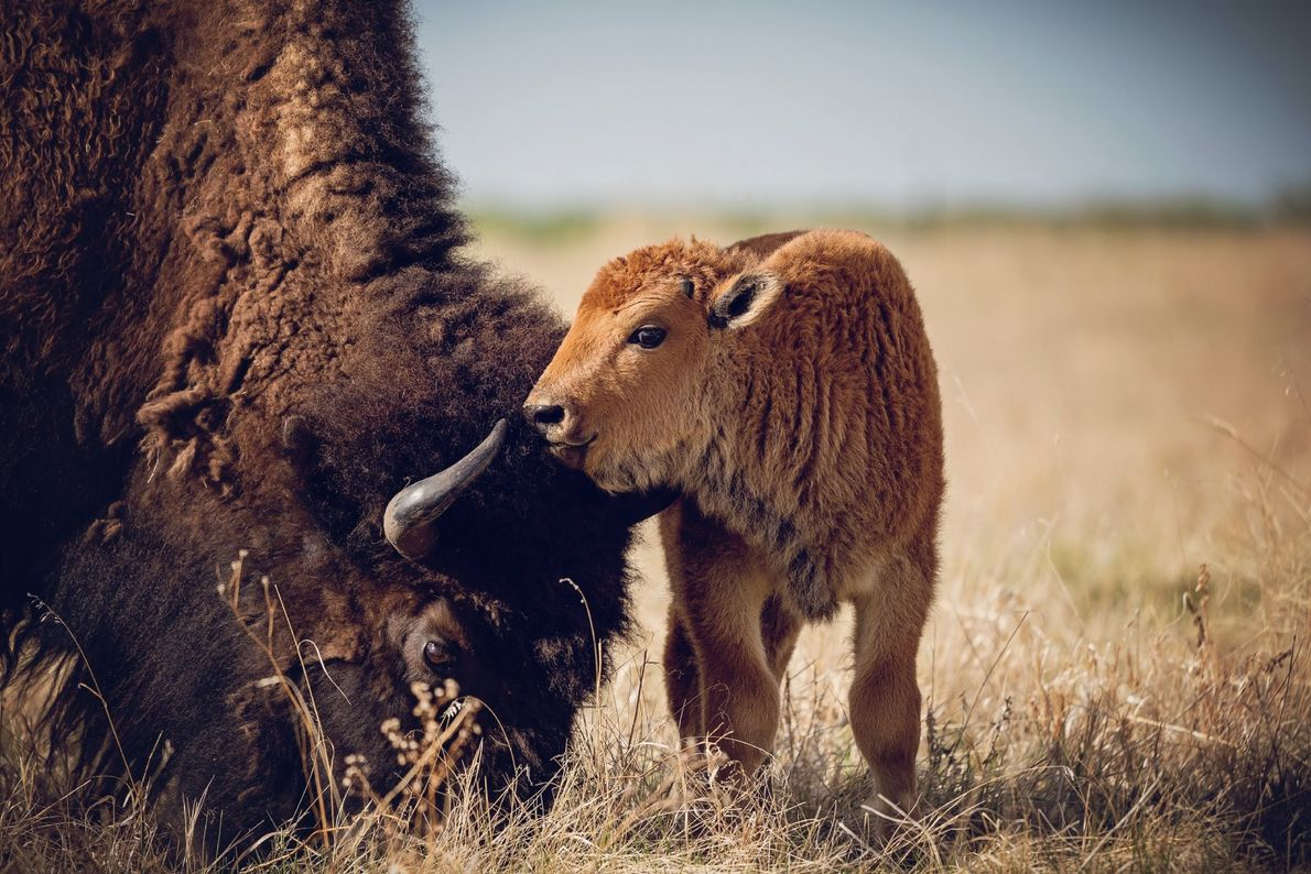 """""""A tender moment between a calf bison and mother,"""" writes Your Shot photographer Tracy Kerestesh. """"One ..."""